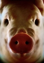 Покорми свинью